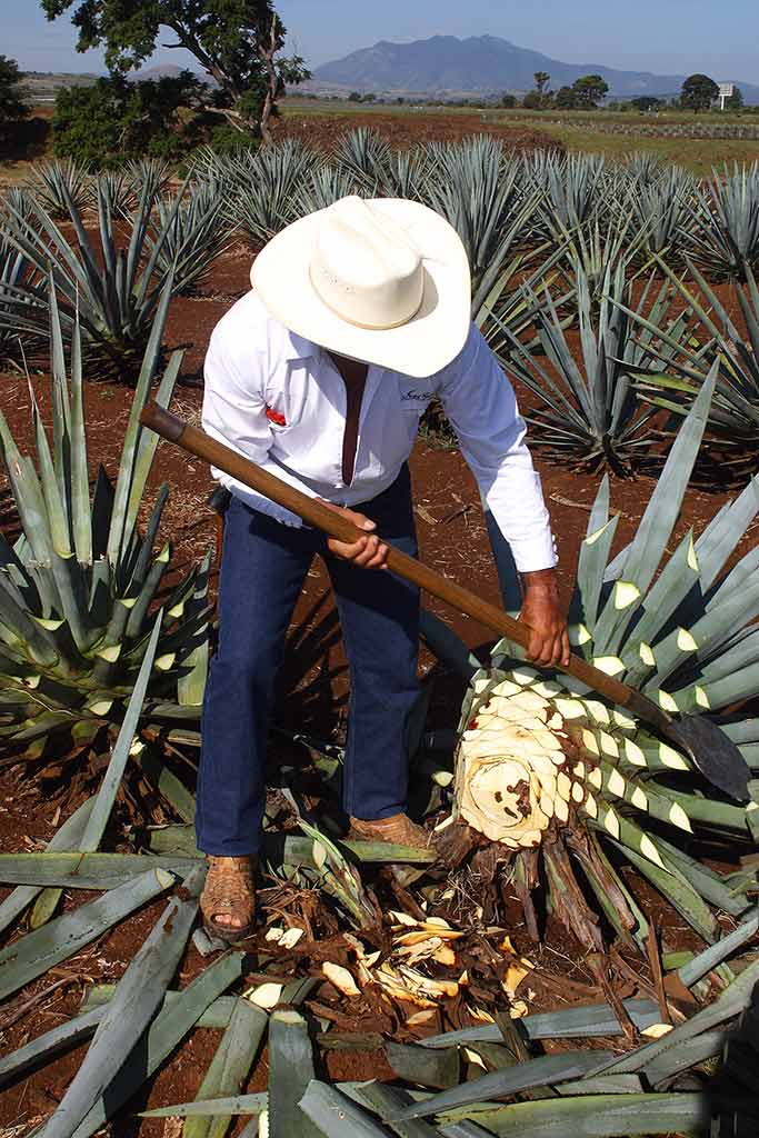 Agave for Tequila Production