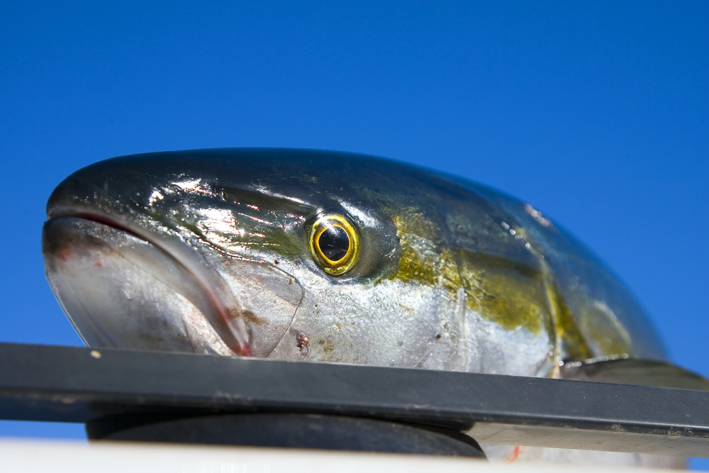 yellowtail head