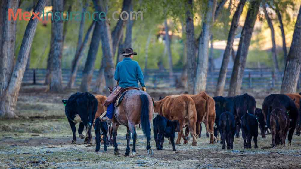 Bonita Cattle