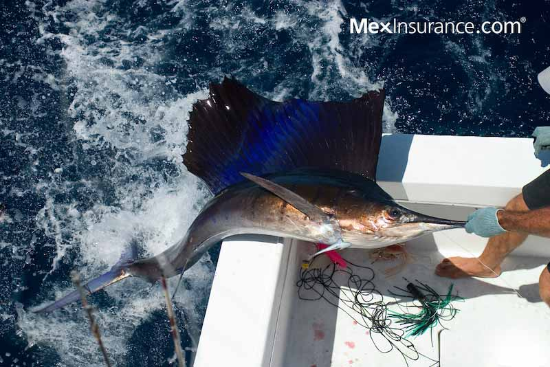 sailfish on desk in Baja - Fishing